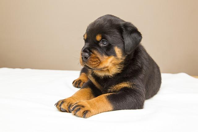 避妊手術の前の時期の子犬
