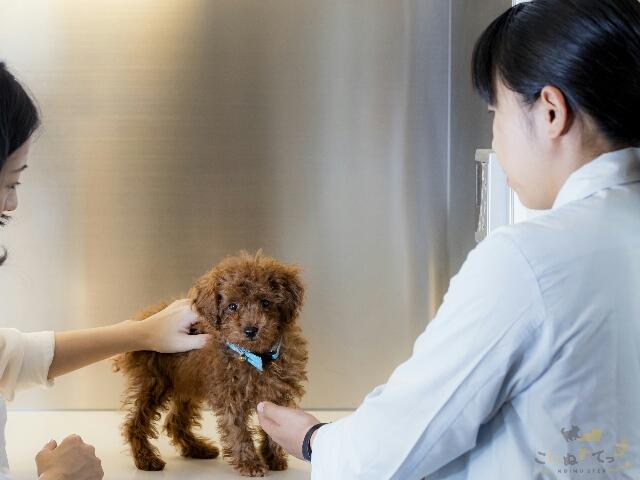 避妊手術の時期について動物病院に相談にきた子犬