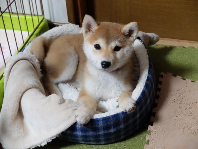 もうすぐ避妊手術の時期の子犬