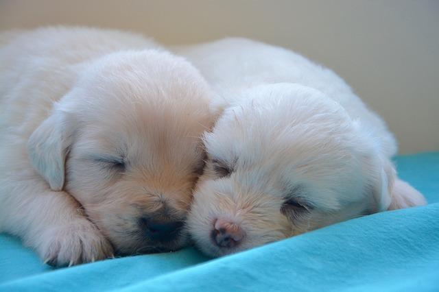 混合ワクチン接種前の子犬