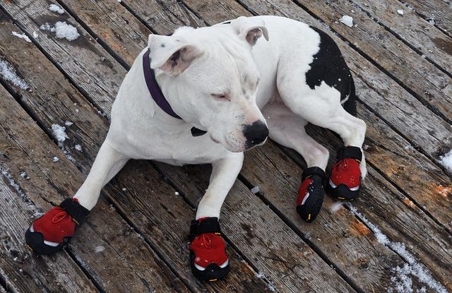 靴を履いて冬の散歩を楽しむ犬