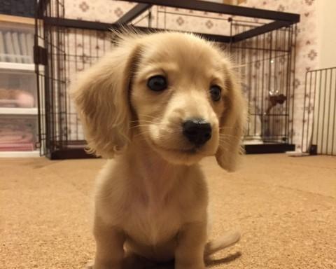 子犬によくあるケンネルコフをしている子犬