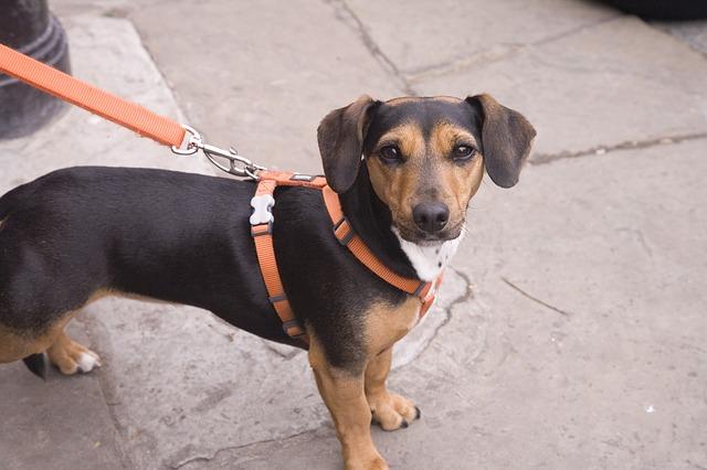 正しいリードの選び方をしてスタンダードリードをつけている子犬