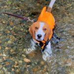 犬と川遊びをするときの準備と注意事項