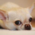 犬の体温の正しい測り方とそのコツ【獣医師監修】