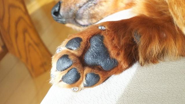 狼爪をきれいに爪切りしている犬