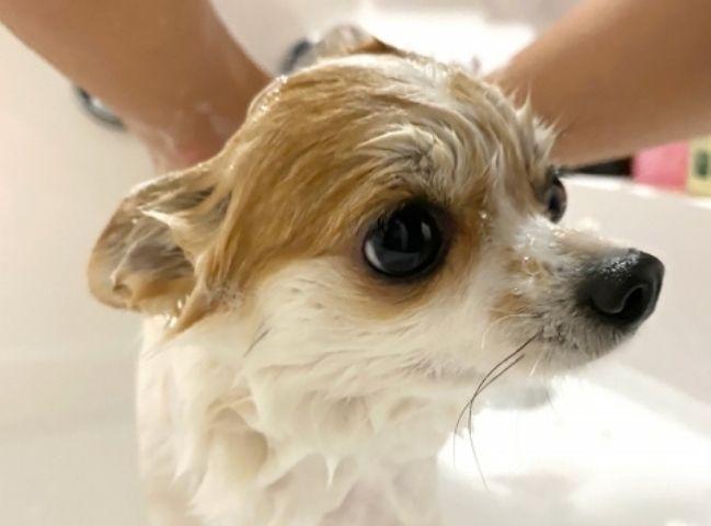 シャンプーをしてもらう子犬