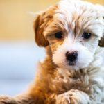 二匹目の犬を迎えた日からの過ごし方【獣医師監修】