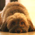 犬がおしっこを失敗した時にしてはいけない4つのこと【獣医師監修】