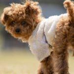 子犬との散歩に必須のグッズ8選と選び方を詳細解説【獣医師監修】