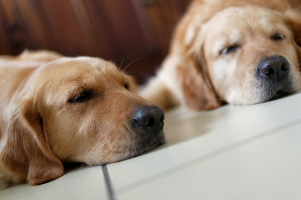 多頭飼いに適したスペースのある家庭の犬