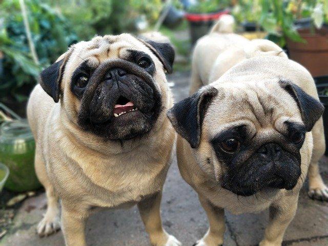 多頭飼いする犬同士性別が同じ犬
