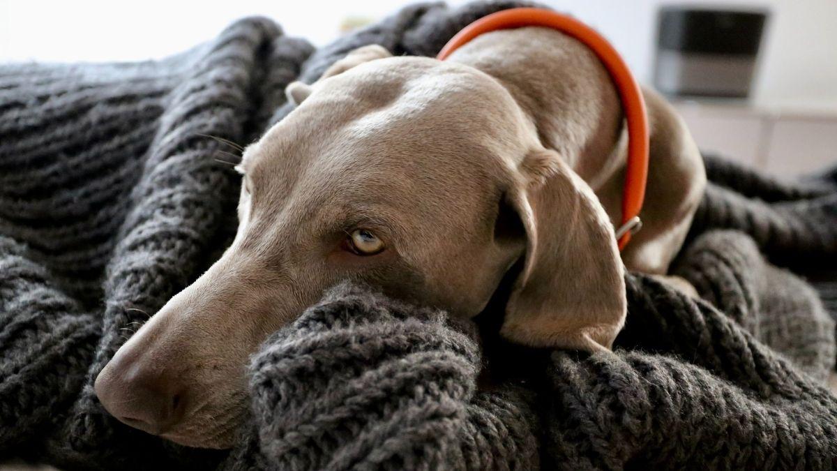 冬の散歩から帰ってから体調管理している犬