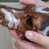 子犬のはじめてのシャンプー。失敗しないためのコツ2つと手順【獣医師監修】