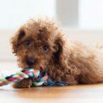 犬の「ちょうだい」の教え方。コツは練習用のおもちゃ選び【獣医師監修】