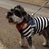 愛犬が散歩で他の犬に吠える時の対処法【獣医師監修】