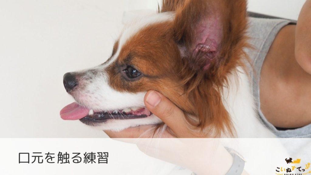 身体中を触る練習をする時期の子犬