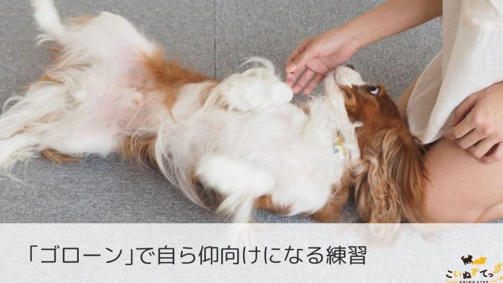 ゴローンであおむけになる練習をする犬