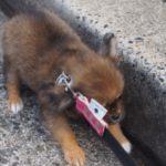 子犬が散歩で歩かない…4つの理由と対処法【獣医師監修】