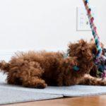 子犬との遊び方のコツ4つ【獣医師監修】
