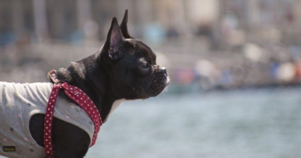 花粉症対策で服を着て散歩する犬
