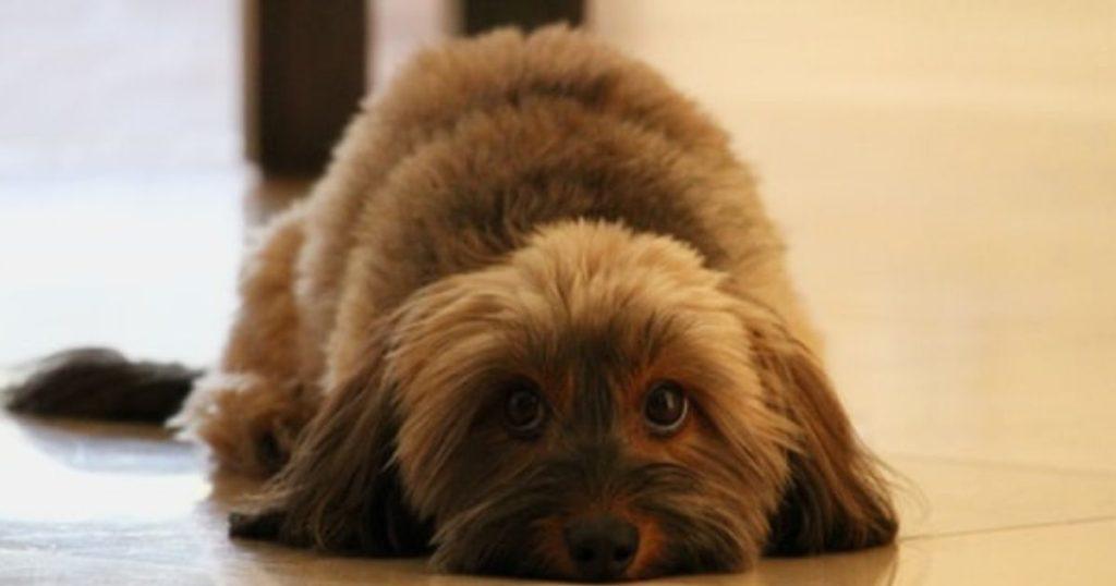 粗相を叱られて、飼い主に恐怖心を持つ犬