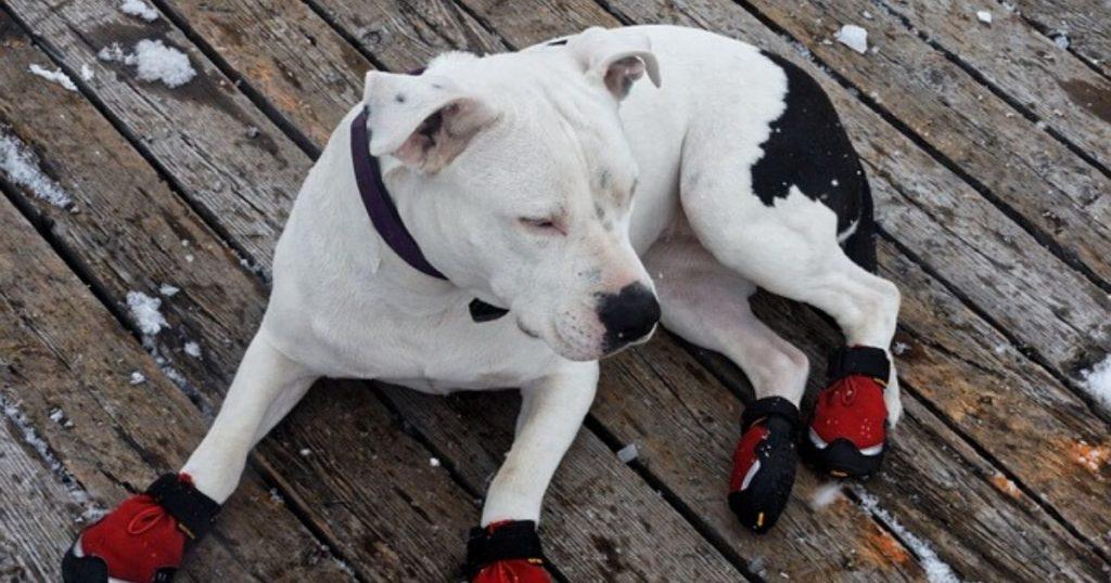 靴を履く練習をしている犬