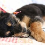 犬がメガネを噛む時に必要な対応【獣医師監修】