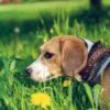 犬に寄生したノミがもたらす病気とは…【獣医師監修】