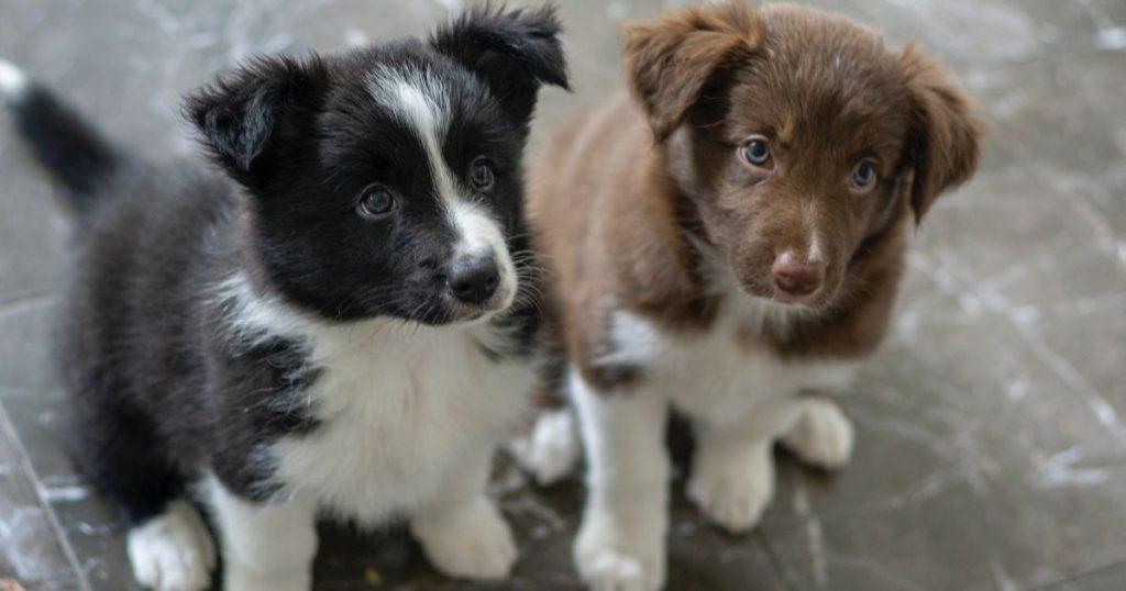 犬への社会化をしている子犬