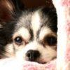 室内犬にもフィラリア症予防薬が必要な6つの理由【獣医師監修】