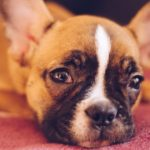 子犬の食糞対策4選【獣医師監修】