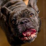 犬の要求吠えへの3つの対策【獣医師監修】