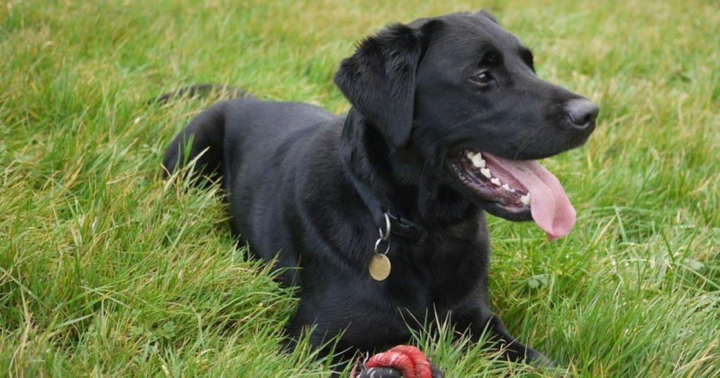 暑さに弱い黒い被毛の犬
