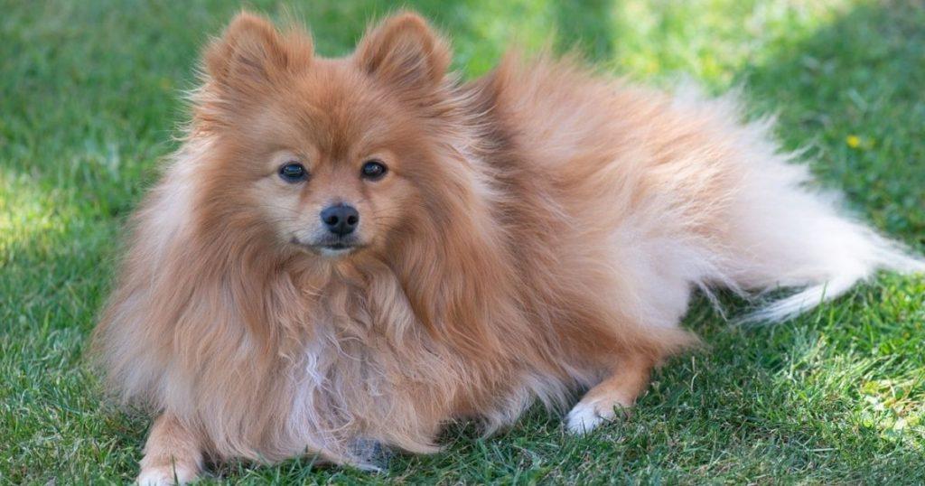 暑さに弱いダブルコートの犬