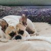 犬の血尿。必要な対応と関連する病気や症状【獣医師監修】