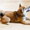 犬の毛が抜ける時、病気を見分ける4つのポイント【獣医師監修】
