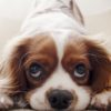 来客時に警戒して吠える犬への2つの対策【獣医師監修】