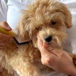 子犬がブラッシングを嫌がる4つの理由と対処法【獣医師監修】